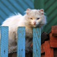 Кот с разноцветными глазами :: Екатарина Готовская