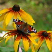 Рудбекия и бабочка :: Лариса