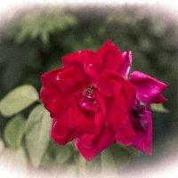Роза и зелень :: просто Борисыч