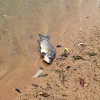 Вот такая рыба водится в пруду :: Валерий Иванович