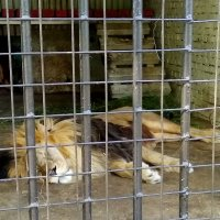 Зоопарк Лев Луганск :: Наталья (ShadeNataly) Мельник