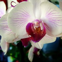 Орхидея фаленопсис. :: ANNA POPOVA