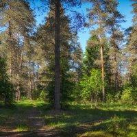 В солнечном лесу :: Алексей (GraAl)