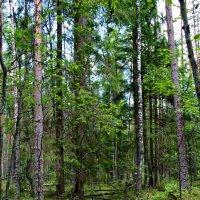 В лесу под Лугой. :: Фёкла