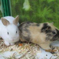 Белый кролик и морская свинка. :: Зинаида