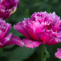 Тюльпанный Фестиваль Скаджит Вэлли, Сиэтл, США :: Ольга Петруша