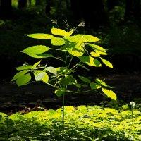 Наши Пестики тянутся к солнцу... :: Владимир Куликов