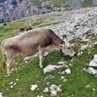 Вокруг пасутся коровы :: Владимир Соколов