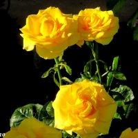 Ростовские розы :: Нина Бутко