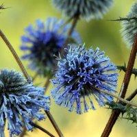 Снова август синими  шарами  осень наряжает.. :: Гала