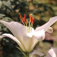 Белая лилия :: Irene Irene