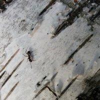 Спешит по делам, муравейчик :: Galina Solovova