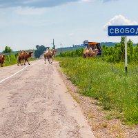 Путь к Свободе для верблюда :: Владимир Ушаров