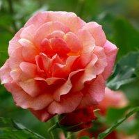 Про розу в августе... :: Ирина Румянцева