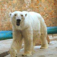 белый медведь :: ольга хакимова