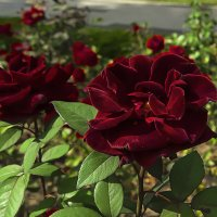 Красная роза - эмблема любви. :: Сергей Фомичев