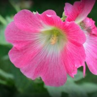 Розовая мальва :: MarinaKiseleva