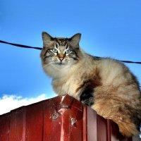 Коте :: Игорь Корф