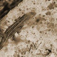 Lizard :: Karina Andreeva