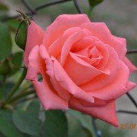 роза :: Юлия Каленюк