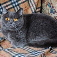Задиванная кошка :: Сергей Молянов