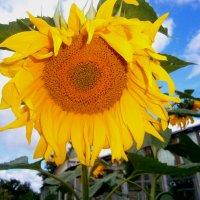 Солнечный цветок :: Оксана Шалаева