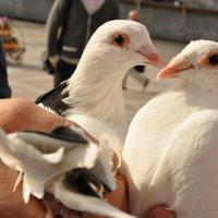Пара белых голубей :: Елена Киричек