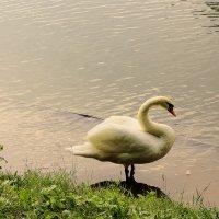 Лебедь :: Андрей Баськов