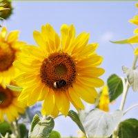 солнечные цветы :: Irina Bogatyreva