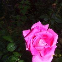 роза :: Ирина Красникова-Дашкова