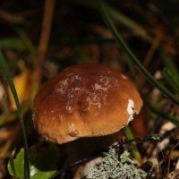 Белый гриб :: Елена Богос
