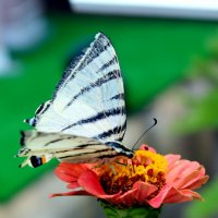 Бабочка на цветке :: Ольга Жданкина