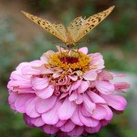 Бабочка :: Ольга Жданкина