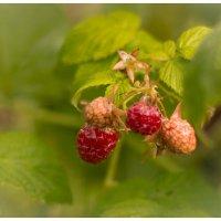 По ягоды :: Alhna ---
