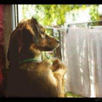 Мулька ждет хозяйку у окна.... :: Елена Kазак