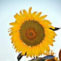 Подарок Солнца :: Олеся