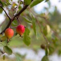 Яблочки :: Екатерина Рудник