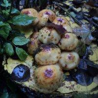 А на пне растут грибы! :: Ольга Кривых
