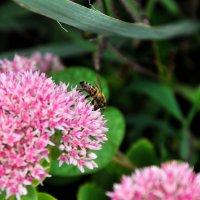 Пчелка :: Владимир Козачковский