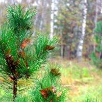 Сосна в березовом лесу :: Олеся