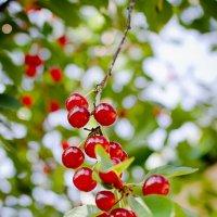 Вишневый сад :: Сергей Гаварос