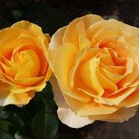 Розы :: Маргарита Батырева