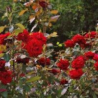 Сумасшедшее, осеннее цветение моих роз. :: Восковых Анна Васильевна