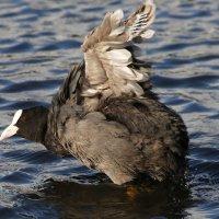 Черная утка (лысуха) :: Александр Шипиленко