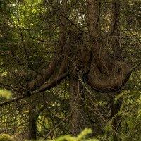 Необычное дерево в онежском лесу. :: Марина Никулина