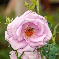 У розы гости! :: Vladimir Dunye