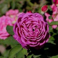 Розовые оттенки роз :: Надежд@ Шавенкова