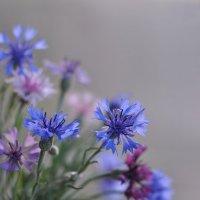 Нежный и красивый цветочек полевой... :: Любовь Р
