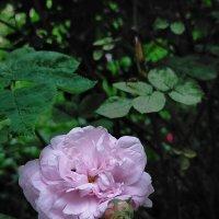 Во имя розы :: Yulia Raspopova