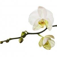Орхидея :: Максим Иванов